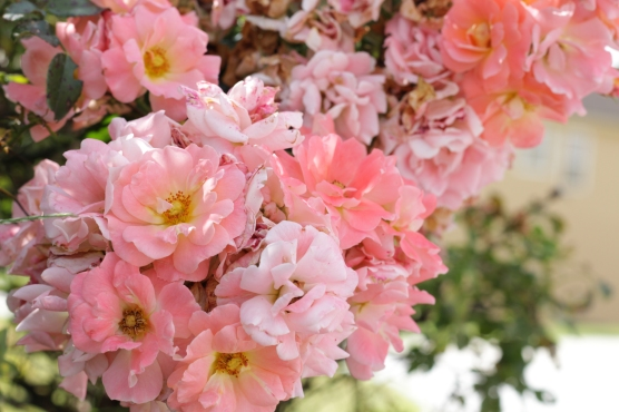 PinkAzaleaXcshot6354
